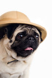 Pug wonders. Pug in hat with looks with surprise Royalty Free Stock Image