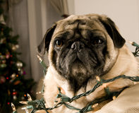 Pug Wrapped in Lights Stock Photo