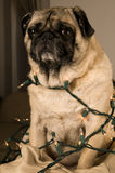 Pug Wrapped in Lights Royalty Free Stock Photos