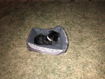 Pug in yard. Puppy sleeping in the yard, the ground it too Royalty Free Stock Image