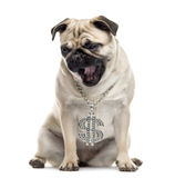 Pug yawning and looking down Stock Images