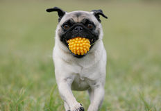 Pug with yellow ball Royalty Free Stock Photos