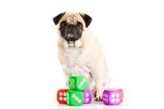 Pugdog собаки изолированное на белой предпосылке dices любимчик игрушки Стоковая Фотография