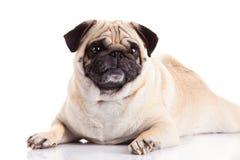 Pugdog do cão isolado no fundo branco Imagem de Stock