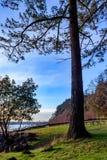 Puget dźwięk pod wielkimi drzewami Zdjęcie Royalty Free