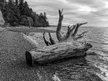 Puget Sound Driftwood. Driftwood Black And White along Puget Sound Stock Photo