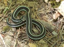 Puget Sound Garter Snake Royalty Free Stock Image