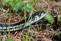 Puget Sound gartersnake - Thamnophis sirtalis pickeringii Royalty Free Stock Photography