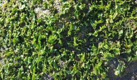 Puget Sound-Meerespflanze Stockbilder