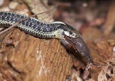 Puget Sound-Strumpfband-Schlange, die eine Schnecke isst lizenzfreie stockfotografie