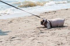Pugfurcht Hund der Nahaufnahme setzen nette und ängstlichwassermeer auf den strand, wenn Leute versuchen, Pug zu ziehen, um Schwi lizenzfreies stockfoto