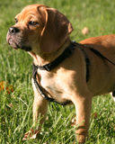 Puggle photo stock