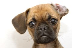 Puggle Images stock