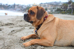 Puggle beach Stock Photography