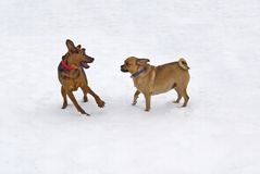 Puggle and Boxer mix play fight Stock Images