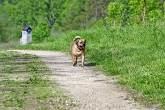 Puggle coming home Stock Images