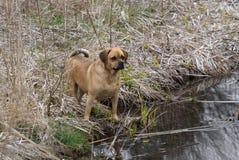 Puggle, das in Teich steht Lizenzfreie Stockfotografie