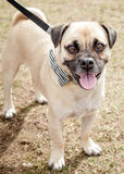 Puggle Dog with Black and White Bow Tie on Leash Royalty Free Stock Image