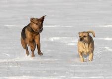 Puggle et berger de boxeur ont mélangé des chiens de race fonctionnant dans la neige Images libres de droits