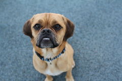 Puggle Royalty Free Stock Images