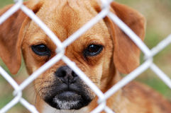 Puggle Looking Through Fence. A small puppy, the breed of Puggle, looks through a fence Royalty Free Stock Image