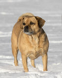 Puggle mixed breed dog Royalty Free Stock Photos