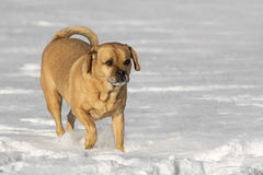Puggle mixed breed dog Stock Photo