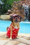 Puggle patriótico en la piscina Fotos de archivo libres de regalías