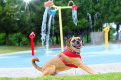 Puggle at playground with water feature. Looking at a happy puggle with his tongue out in front of a water feature at a park royalty free stock images