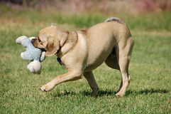 Puggle playing Stock Photography