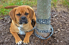 Puggle Pup Stock Images
