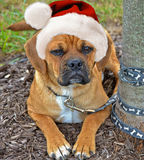 Puggle pup wearing a Santa hat Stock Photos