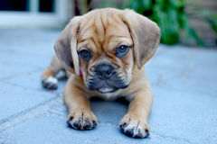 Puggle puppy stock photography
