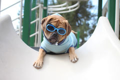 Puggle. A puggle puppy going down the slide Royalty Free Stock Image