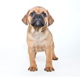 Puggle Puppy Royalty Free Stock Photos