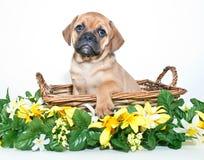 Puggle Puppy Stock Photos