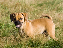 Puggle Puppy Stands in the Grass. This is a Puggle Puppy Standing in the Grass looking for a playmate Stock Photography