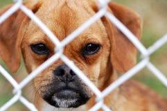 Puggle regardant par la frontière de sécurité Image libre de droits