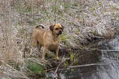 Puggle standing at pond Royalty Free Stock Photography