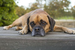 Puggle on table Stock Photo
