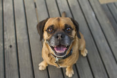 Puggle on table. Puggle at a park on a lunch table Stock Photography