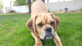 Matlock the Puggle Royalty Free Stock Photos