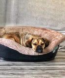 Puggle vermoeide slaperige hond royalty-vrije stock foto's