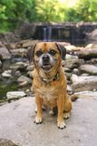 Puggle at the waterfall stock photography