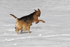 Puggle y el pastor del boxeador mezclaron los perros de la raza que corrían en nieve Foto de archivo libre de regalías