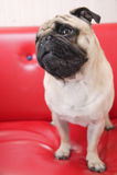 puggy σκέψη σκυλιών Στοκ Φωτογραφίες