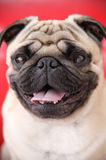 Puggy dog closeup. Puggy dog close up in red background very nice picture stock image