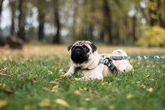 Pughund, der auf das Gras legt stockbilder