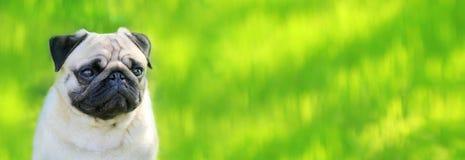 Pughundeporträtreinrassiges tier lokalisiert auf einem unscharfen Hintergrund von GR Stockfotos