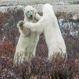 Pugilato d'allenamento dell'orso polare Fotografie Stock Libere da Diritti